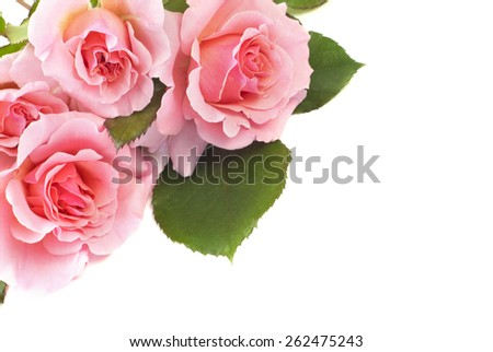 Delicate beautiful pink roses on a white horizontal background with plenty of space for text, perfect for Mothers Day, or any special occasion