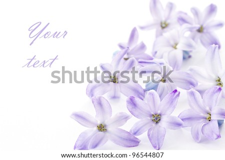 delicate flowers of blue hyacinth on white background