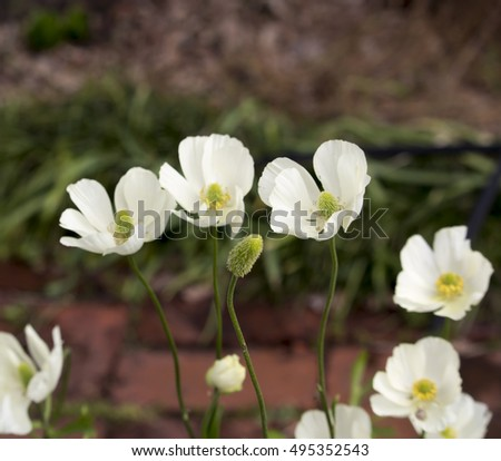 Delicate snow white double  flowered Anemone a genus of  120 species of flowering plants in the family Ranunculaceae, native to the temperate zones  add charm to the winter and spring landscape.