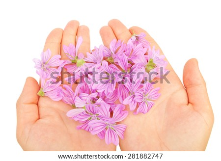 Delicate spring lilac flowers in hands isolated on white background