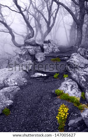Dense fog and spring flowers on the Betty's Rock Trail in Shenandoah National Park, Virginia.