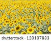 Detail of a field with many sunflowers in sunlight with shallow depth of field - stock photo