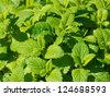 Detail of a lemon balm kitchen herb. - stock photo