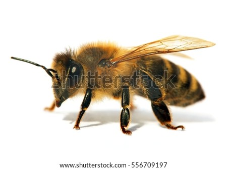 bee latin singles Spring single daisy flower and bee group of bee or honeybee in latin apis mellifera, european or western honey bee isolated on the white background.