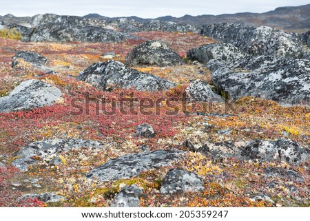 Detail of lichen and tundra vegetation in Greenland during summer