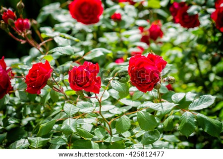 detail of red roses bush - colorized photo