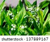 Detail of some flowering lilies of the valley. - stock photo