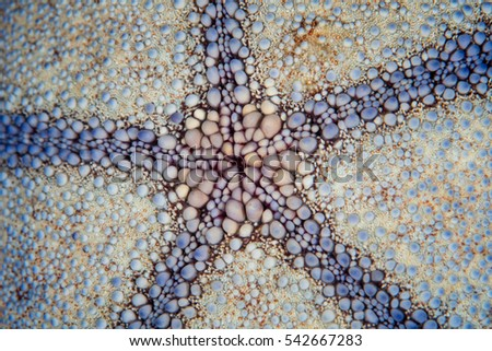 Detail of the underside of a Pin cushion starfish found on a coral reef in the tropical western Pacific.