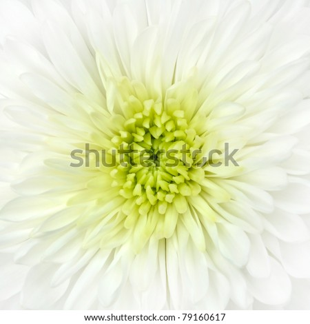 Detail of White Chrysanthemum Flower Head Closeup Background