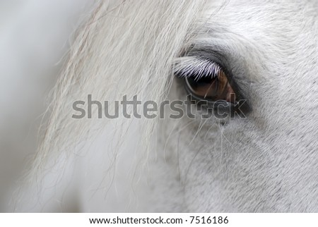 Detail of white horse head with long eye-lashes