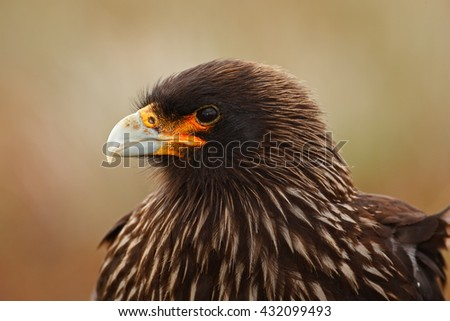 Detail portrait of birds of prey Strieted caracara, Phalcoboenus australis. Caracara sitting in the grass in Falkland Islands, Argentina. Caracara in the nature habitat. Detail portrait of caracara.