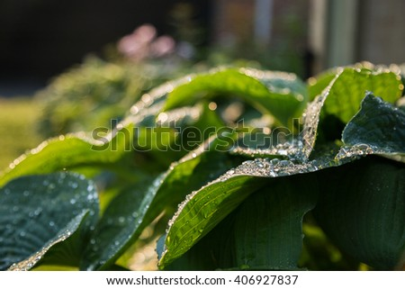 Dew drops on hosta leaves, selective focus, bokeh