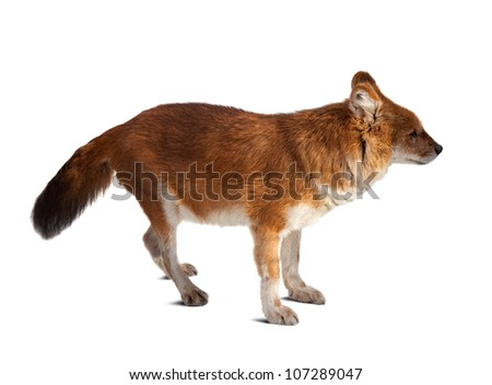 Dhole (Cuon alpinus). Isolated over white background with shade