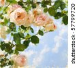 Digital painted picture with rose-tree and sky. Can be used as invitation-card or picture-card background. - stock