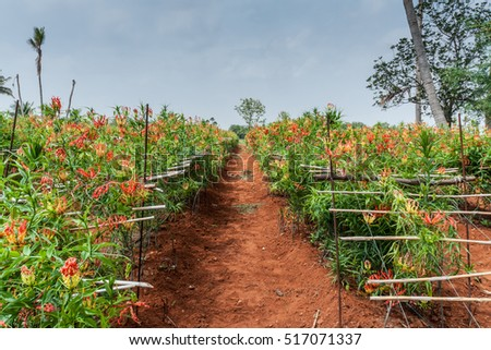 Dindigul, India - October 24, 2013: View along path through field of Tiger Claw medicinal plants and their vibrant red flowers. Known as Glory lily or Fire Flower. Red dirt and blue skies give color.