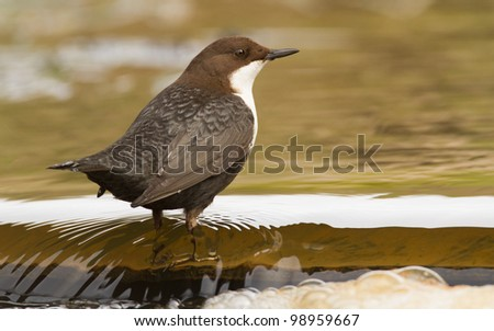 Dipper sitting on the waterfall edge