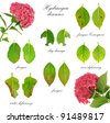Diseases of Hydrangea macrophylla  flower  isolated on white background - stock photo
