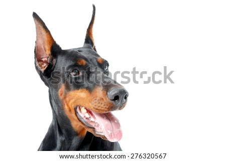 Distracted attention.  Close up of doberman pinscher with opened mouth on white isolated background.
