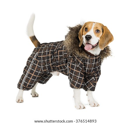 dog Beagle in the suit on white background