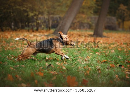 Dog breed Beagle walking in autumn park