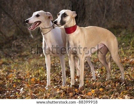 Agility Dogs Breeds Dog Breeds Whippet Greyhound