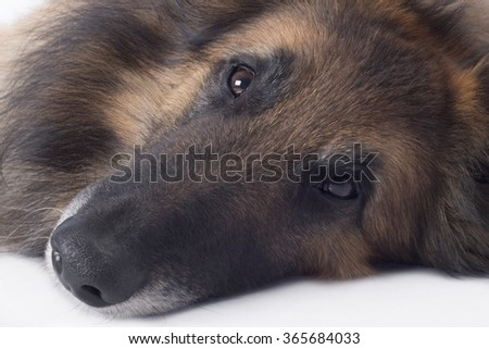 Dog, close up of nose and eyes, isolated