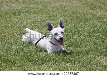 dog grass Jack Russell Terrier