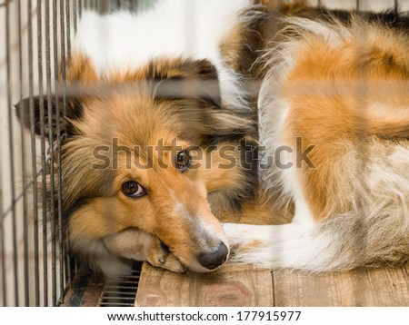 dog in cage series--Shetland sheepdog, her name is Sissi.