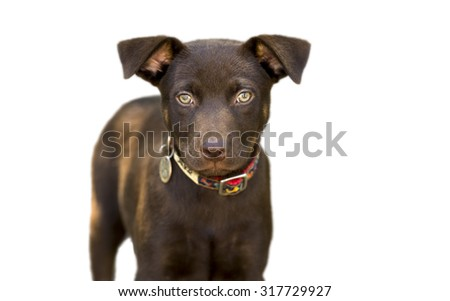 Dog isolated on white is a cute brown dog with green eyes looking slightly serious while standing isolated against a white background.