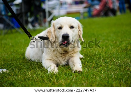 Dog labrador on green grass