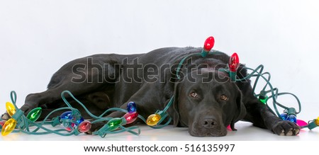 dog laying down surrounded with christmas lights