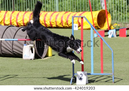 Dog of breed of the Border Collie at training on agility