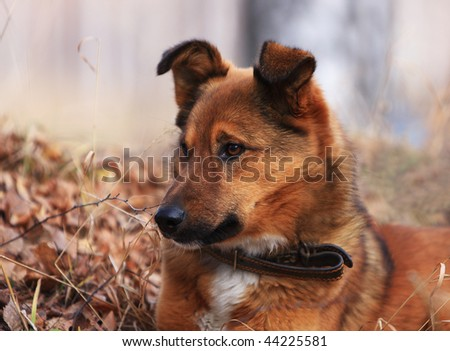 Dog on a nickname Red - the loyal friend and the reliable watchman