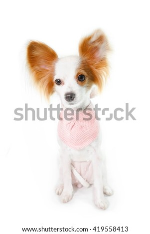 Dog Papillon isolated on a white background (Continental Toy Spaniel Papillon) Dog Haircut Fashion for Summer Trend