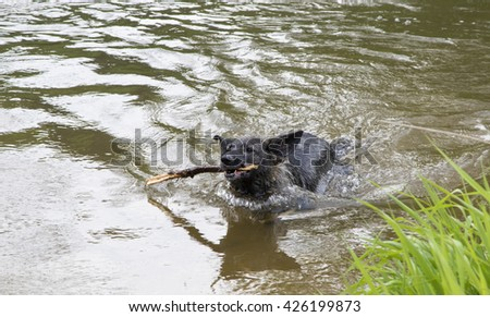 Dog plays with a stick in the river.