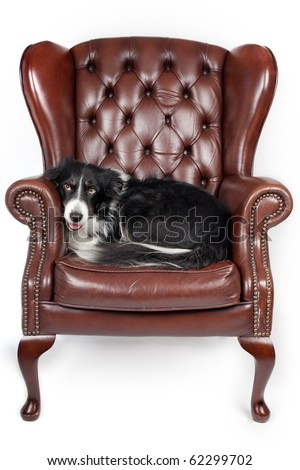 dog resting in a leather armchair
