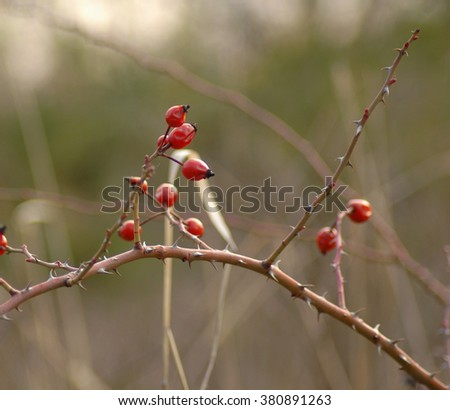 Dog rose (Rosa Canina) branch with red fruits/ wild rosehips in nature / ripe dog-rose berries