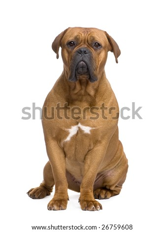 Dogue de Bordeaux (1 year) in front of a white background