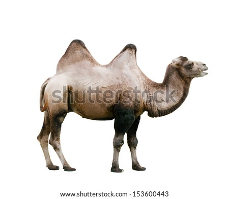 Domestic Bactrian Camel (Camelus bactrianus) cut out on white background