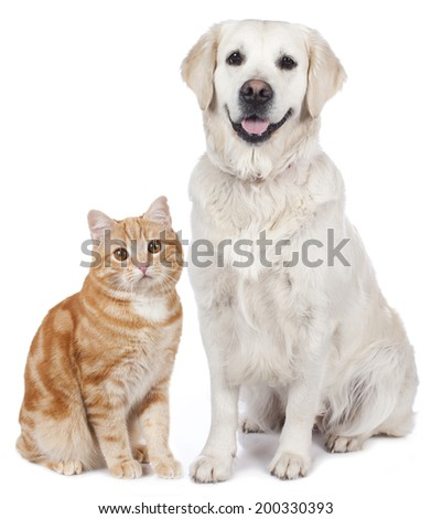 Domestic cat and golden Retriever