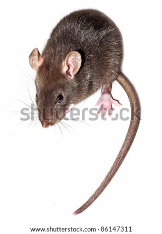 domestic home mouse