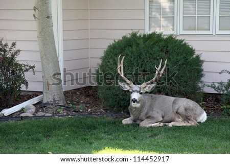 Domesticated buck lost inside a city neighborhood.