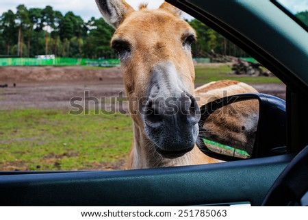 donkey with big ears and a cute face looking in the window of the car,a close-up portrait.portrait of brown donkey