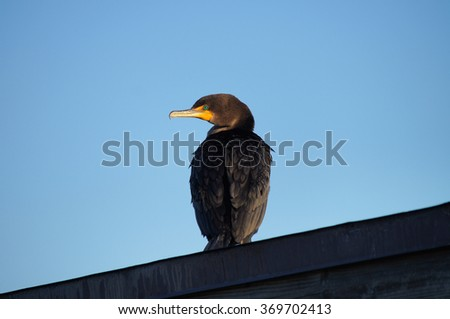 Double-crested cormorant sitting high on the roof in the morning.