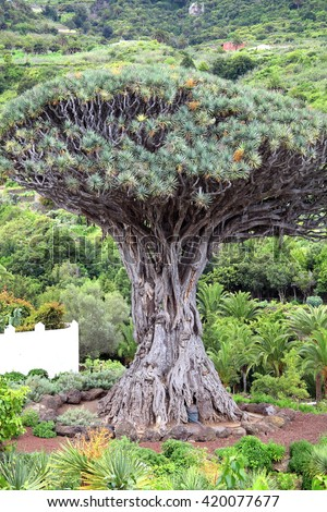Drago Milenario (dracaena draco), Icod de los Vinos, Tenerife, Canary Islands, Spain is a tree like plant with red sap and is said to be 1000 years old and has been declared a national monument