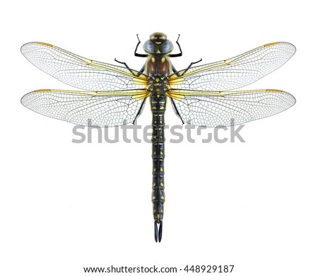 Dragonfly Brachytron pratense on a white background