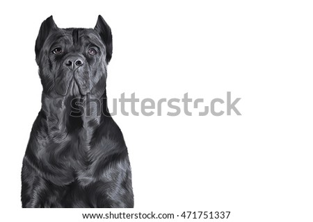 Drawing dog breed Cane Corso portrait on a white background