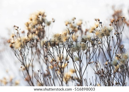 dried plant, winter outdoor