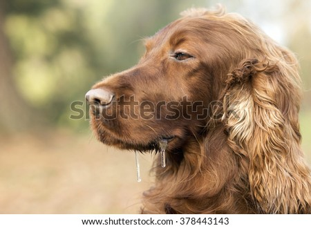 Drooling sleepy Irish Setter dog portrait