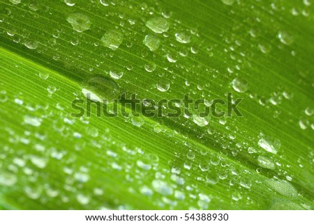 drops of water on the green leaf